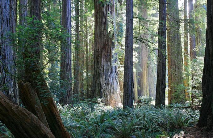 Baselt Del NorteCoast Redwoods Stout Grove