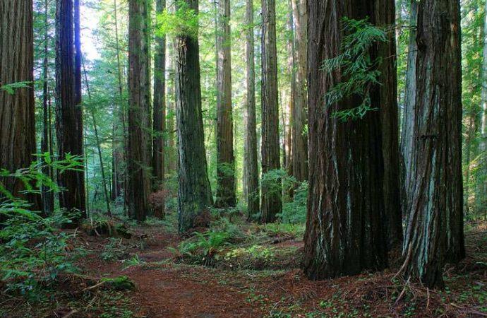 Baselt So. Hum. Big Tree Trail 1