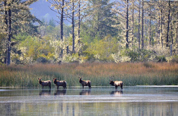 Laird, Water, Roosevelt Elk at Stone Lagoon