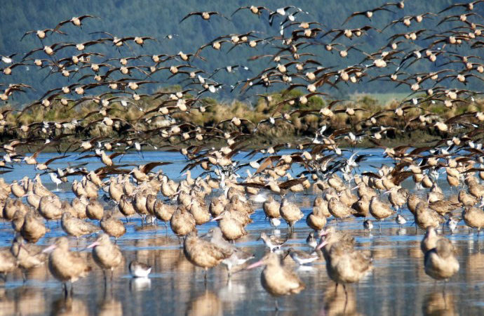 Laird, Water, Godwits on Hookton Slough