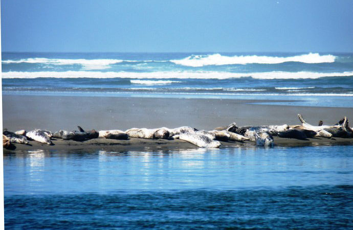 Laird, Water, Mad River Estuary Seals Napping